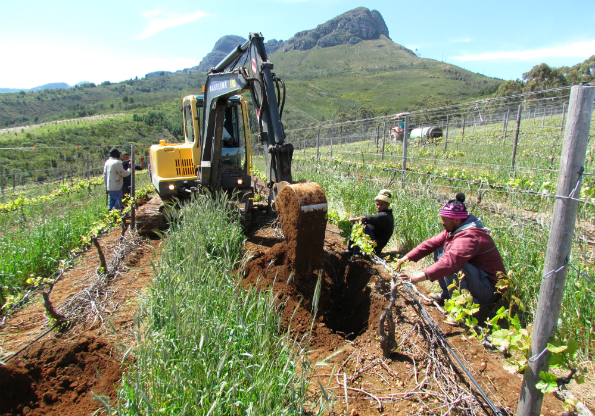 Old roots, new vines: bringing life to the vineyard