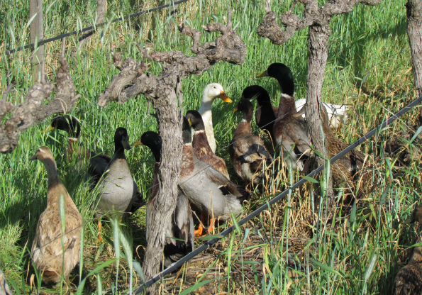 Quacking up: pest control the natural way