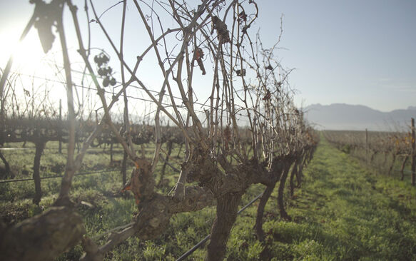 "In the Spier Vineyards: ""Our vineyards are asleep"""