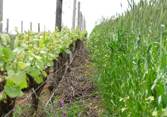 Cover crops in our Helderberg vineyards