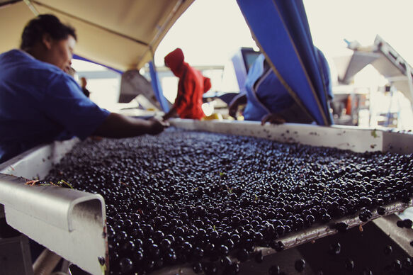 Today's photo: Hand sorting Pinotage 2013